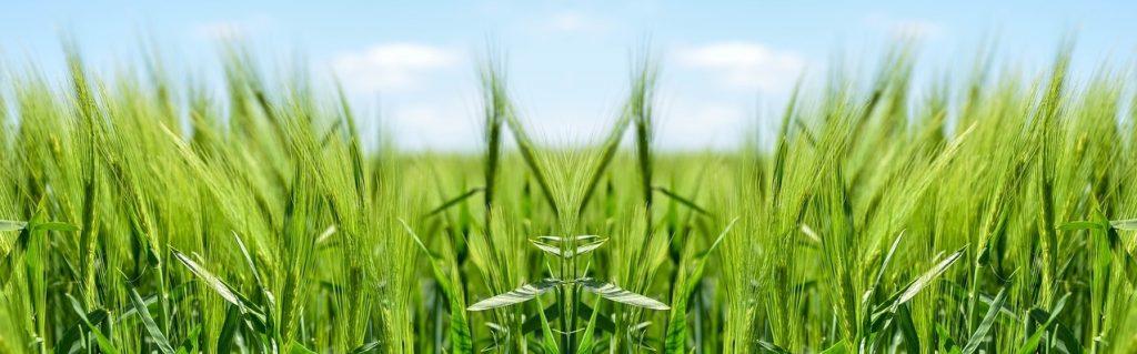 giftfri ekologisk säd